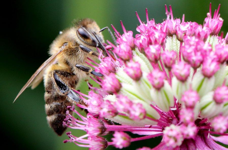 Bees Have Emotions and Moods—Do They Have Consciousness?